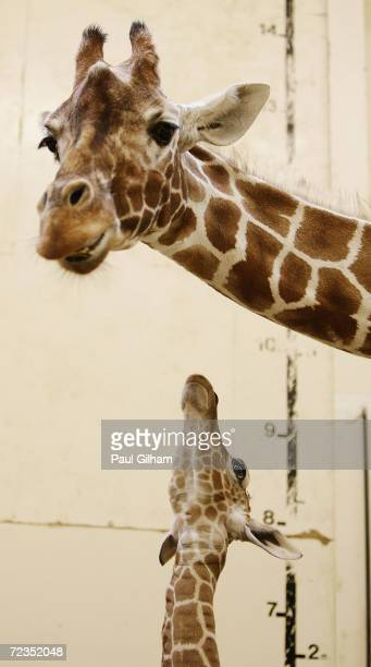 Whipsnade's new male baby giraffe which is yet to be named meets the outside world at Whipsnade Wild Animal Park on October 20 2004 in Dunstable...