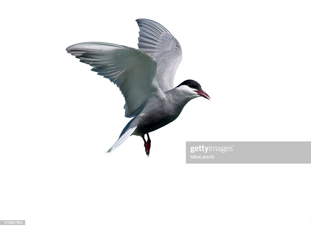 Whiskered tern, Chlidonias hybridus : Stock Photo