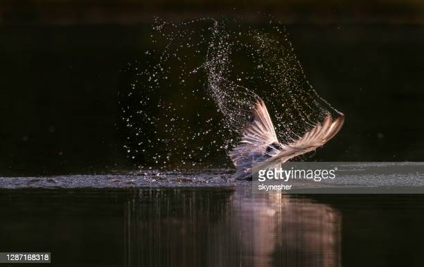 whiskered tern landing on water. - water bird stock pictures, royalty-free photos & images