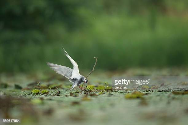 A Whiskered tern plays in a lake in Jiujiang Jiangxi province China on 13th June 2015