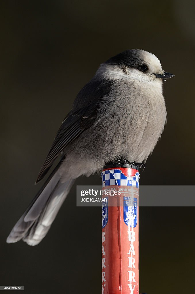 A Whiskey Jack rests on a safety pole at the course of the alpine skiing FIS World Cup in Lake Louise, Canada, on December 07, 2013.