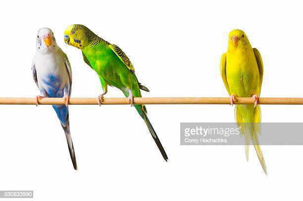 Whispering Budgerigars on Perch
