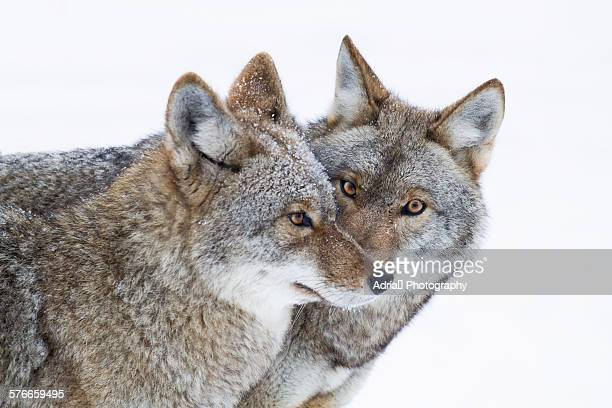 Whispering snow wolves