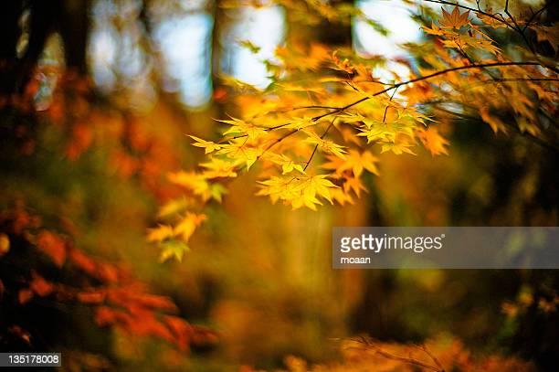 whispers of autumn - mutsu imagens e fotografias de stock