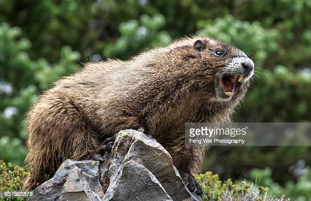 whistling hoary marmot, mount rainier national park, washington usa - woodchuck stock pictures, royalty-free photos & images
