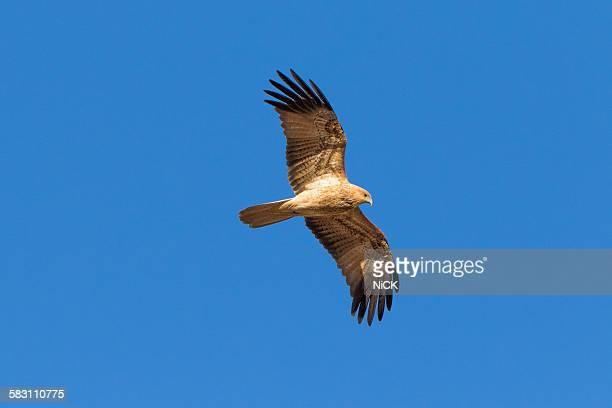 Whistling Kite bird