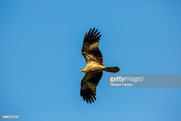 Whistling Kite (Haliastur sphenurus) in flight