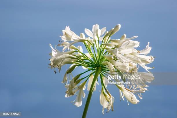 A white agapanthus