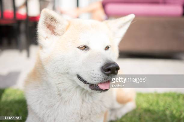 White Akita Inu dog lying in the garden