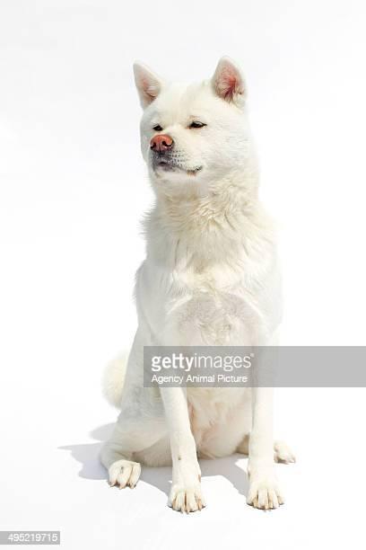 White Akita Inu