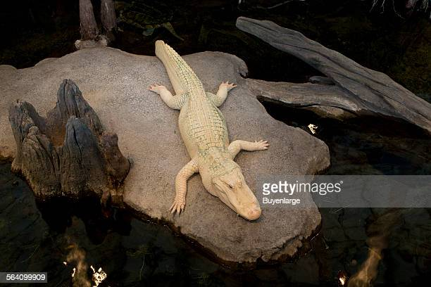 White albino alligator at the National Academy of Science in San Francisco California