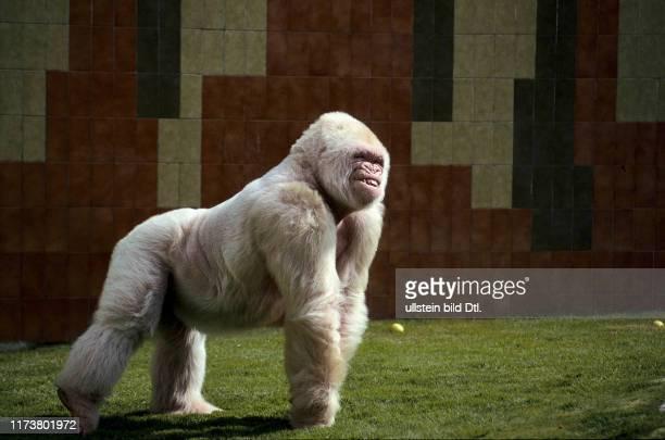 white albino gorilla Snowflake