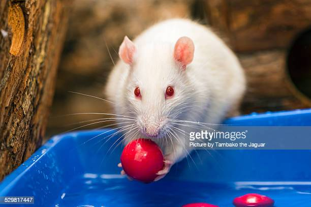 White albino rat with red ball