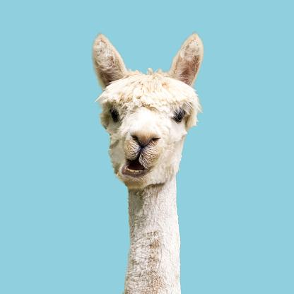 White alpaca on blue background 1179182459