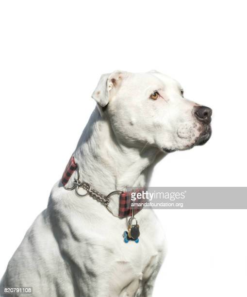 White American Bulldog Mix- The Amanda Collection