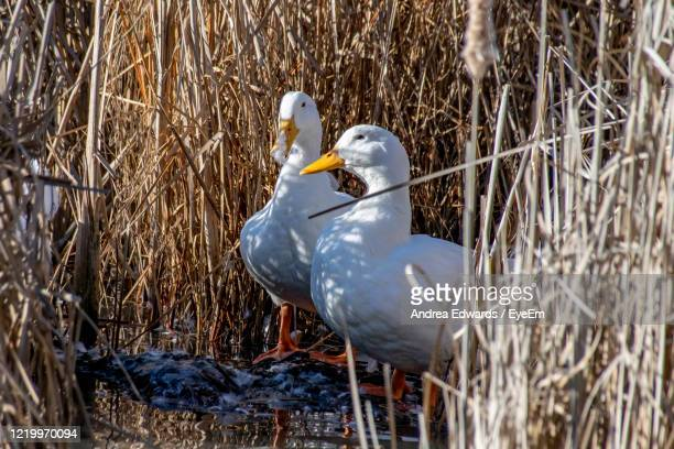 white american pekin ducks preening with feathers flying amongst marsh land reeds - pekin duck stock pictures, royalty-free photos & images