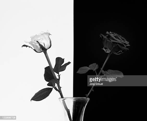 a white and a black rose - black rose stock pictures, royalty-free photos & images