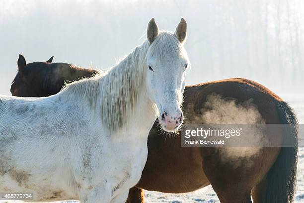 LEPPERSDORF SAXONY GERMANY A white and a brown horse are standing on a hoarfrozen meadow