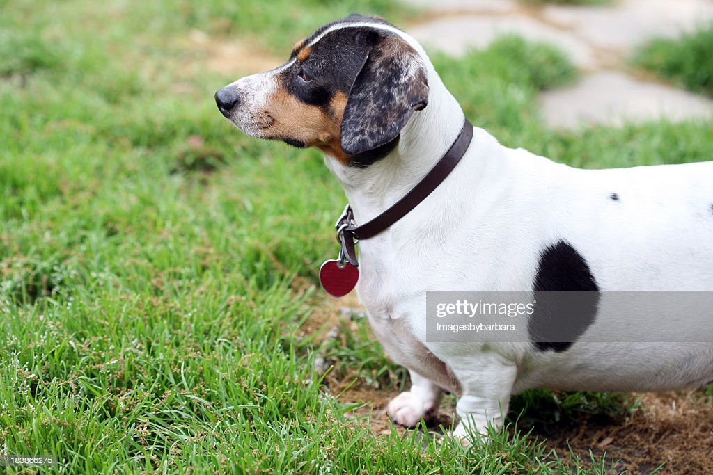 White and black dachshund standing at the grass : Stock Photo
