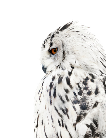 white and black isolated owl 177253045