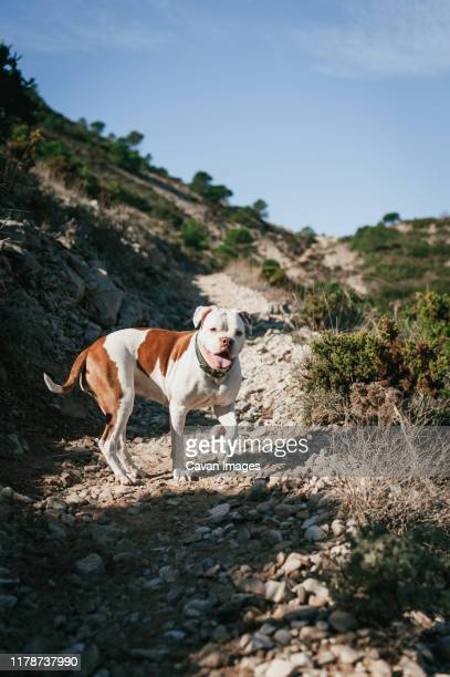 white and brown american bulldog playing in the mountains on sunny day - american bulldog stockfoto's en -beelden