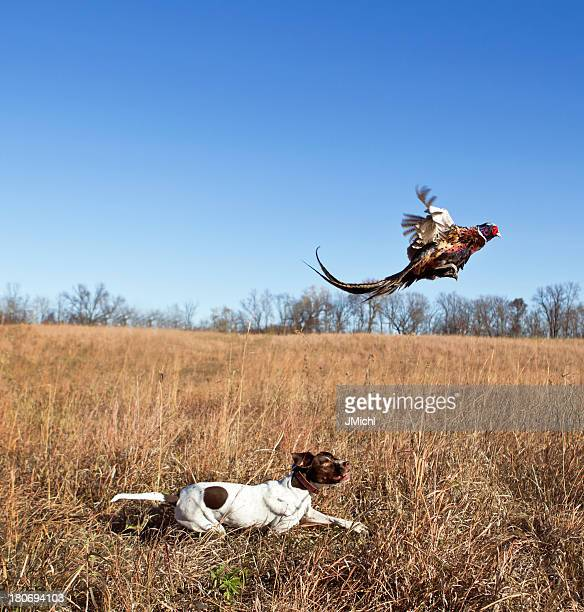 White and brown dog in a field hunting a pheasant