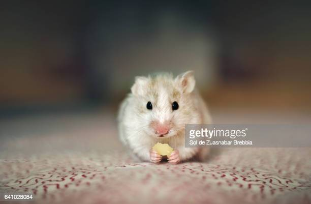 White and brown hamster eating cheese and looking at the camera