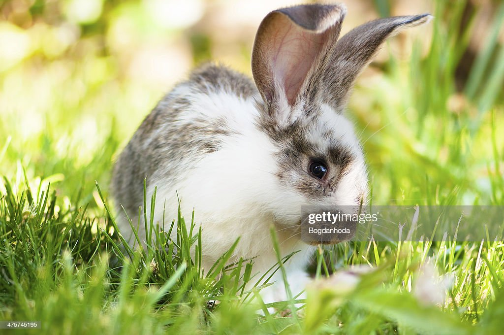 White and brown rabbit sitting in grass, smiling at camera : Stockfoto