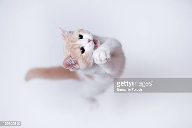 White and cream colored kitten jumping