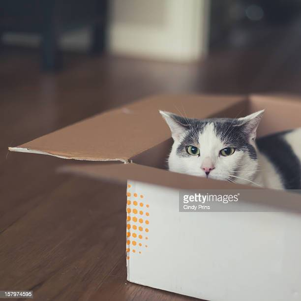 White and grey cat in a cardboard box