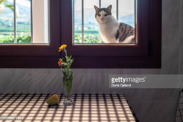 white and grey cat sitting in a window looking into a kitchen with a table with a checked tablecloth and a sigle flower in a vase and half a lemon on the table - dorte fjalland stock pictures, royalty-free photos & images