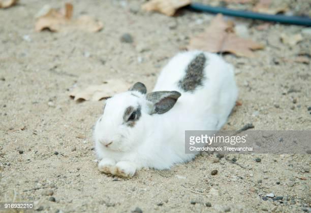 White and grey colour rabbit