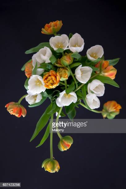 White and orange tulips in front of black background. Still life.