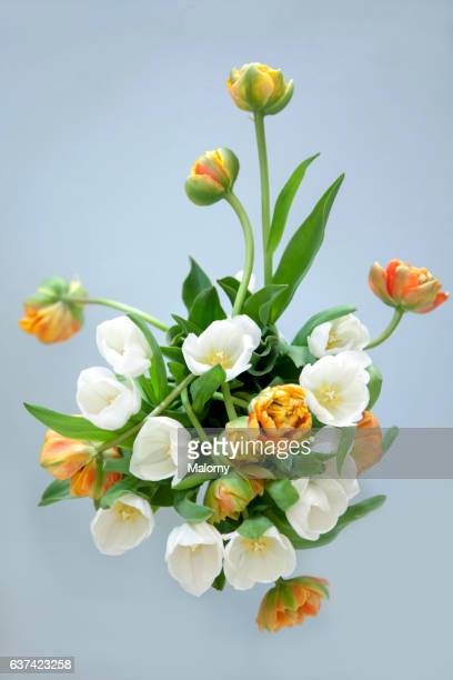 White and orange tulips in front of white background. Still life.