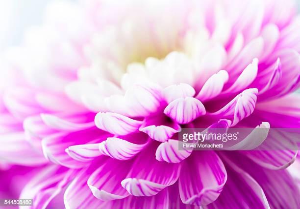 White and pink chrysanthemum