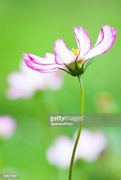 White and pink Cosmos flower - I