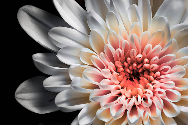 Free white flower black background images pictures and royalty white and pink dahlia narcissus with black background mightylinksfo