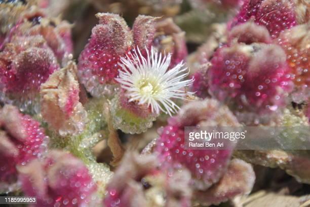 white and pink desert plant flower - rafael ben ari imagens e fotografias de stock