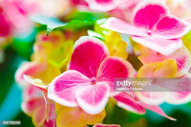 White and pink hydrangea flowers