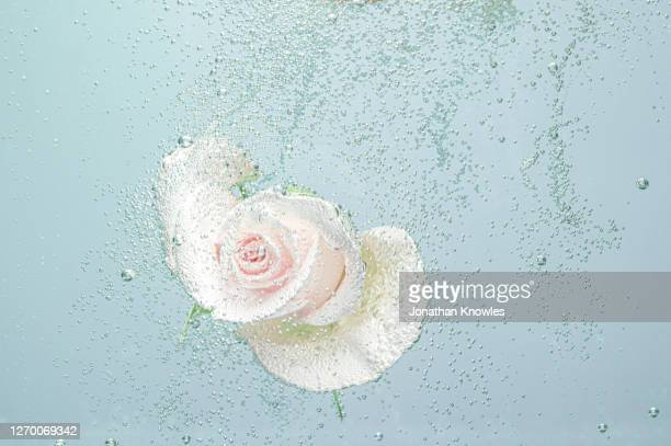 white and pink rose underwater - underwater stock pictures, royalty-free photos & images