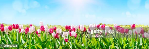 White and pink tulip flowers blooming in a tulip field against the background of blue sky.