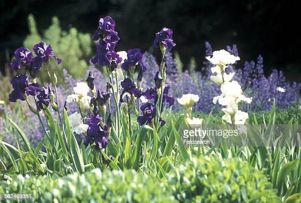 White and purple irises
