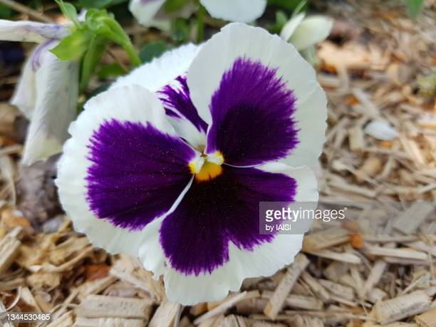 white and purple viola, close-up, from above - flower head stock pictures, royalty-free photos & images