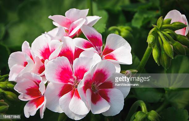 white and red geranium - geranium stock pictures, royalty-free photos & images