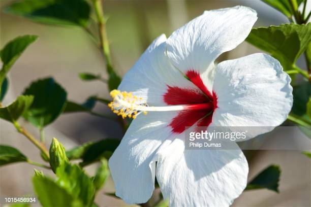 60 Top Hibiscus Rosa Sinensis Pictures Photos And Images Getty Images