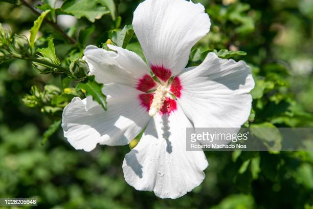 White and red hollyhock flower in the Saint James Park in the downtown district The area is famous for its beautiful gardens