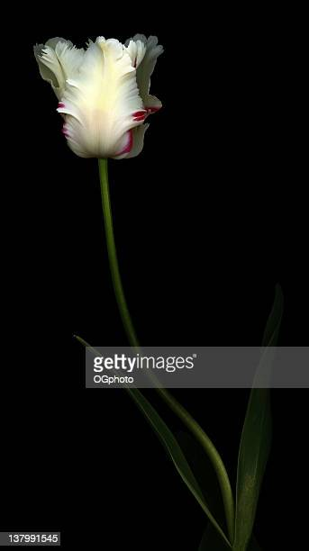 white and red parrot tulip - ogphoto stock pictures, royalty-free photos & images
