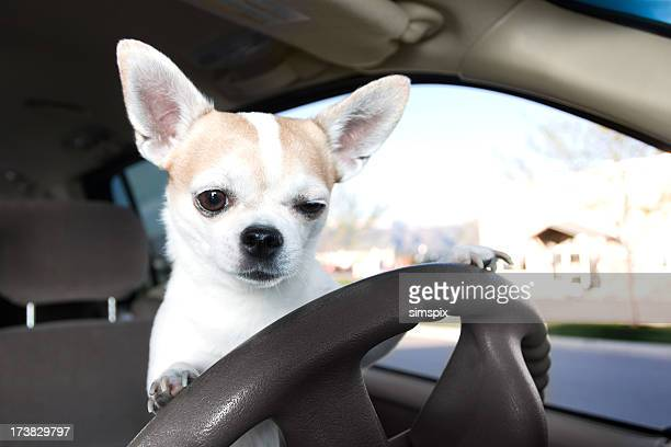 White and tan Chihuahua on the car driver's steering wheel