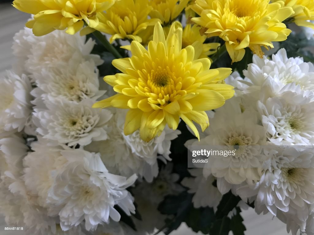White And Yellow Chrysanthemum Flower Stock Photo Getty Images