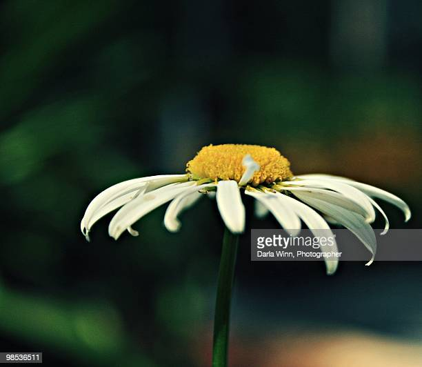 White and yellow cone flower